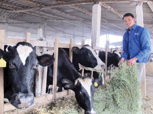 Mỗi ngày đàn bò này đem lại cho anh Chinh khoảng 2 triệu đồng - Ảnh:Q.D