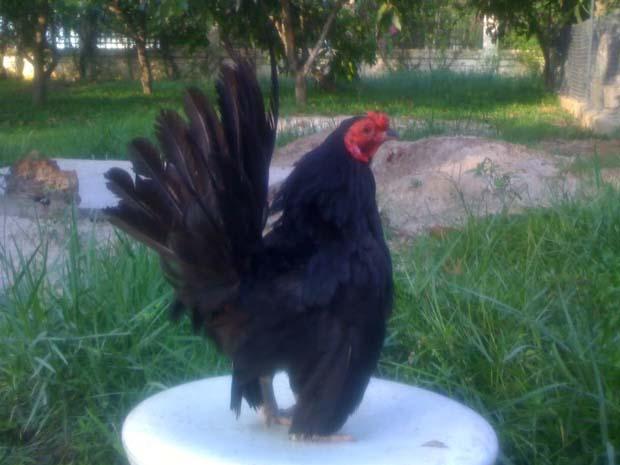 Con này là gà tre lai Thái (máu tre nhiều hơn) màu cực đẹp (chuối tuyết), lùn, nhỏ con nặng chưa đến 500 gram.