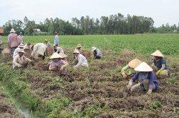 Xuất khẩu khoai lang không còn phụ thuộc vào Trung Quốc