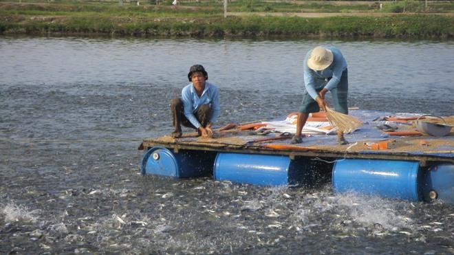 Xuất khẩu cá tra đầu 2014: Thị trường khởi sắc nhưng thiếu nguyên liệu (1)