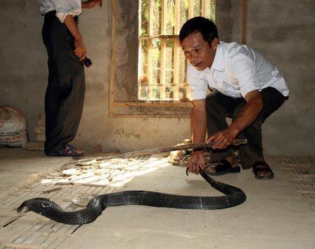 Về làng nuôi rắn hổ mang bành ở Vĩnh Phúc