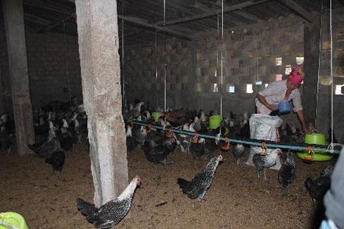 Nhà nông chỉ cần nuôi 20 con gà Ai Cập đẻ trứng, mỗi tháng ít nhất cũng thu 1,2 - 1,5 triệu đồng. Nuôi vài trăm con thương phẩm và mái đẻ mỗi tháng thu 7 - 8 triệu đồng không khó.