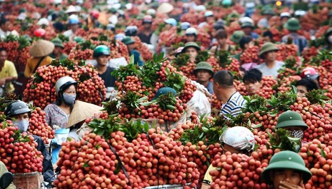 Nếu không bán cho Trung Quốc thì Việt Nam ăn nhòe vải nhưng không thu được ngoại tệ