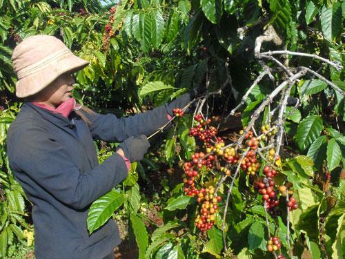 Nhiều nước từ chối bảo hộ nhãn hiệu Cà phê Buôn Ma Thuột (1)