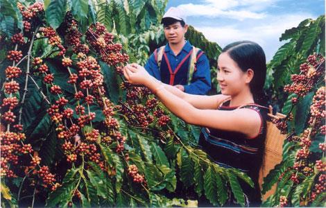 Nhiều nước từ chối bảo hộ nhãn hiệu Cà phê Buôn Ma Thuột