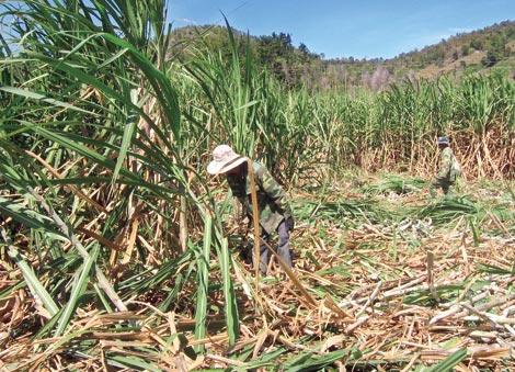 """Một mùa mía """"đắng"""" của nông dân ở Gia Lai."""