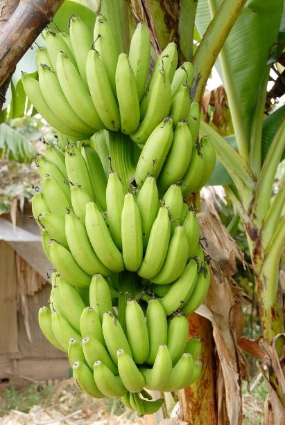 Chuối là loại cây trồng cạn, dễ trồng, ít đầu tư thuốc và phân bón nhưng vẫn cho trái sai. Thường chuối trồng từ 9-11 tháng cho trái.