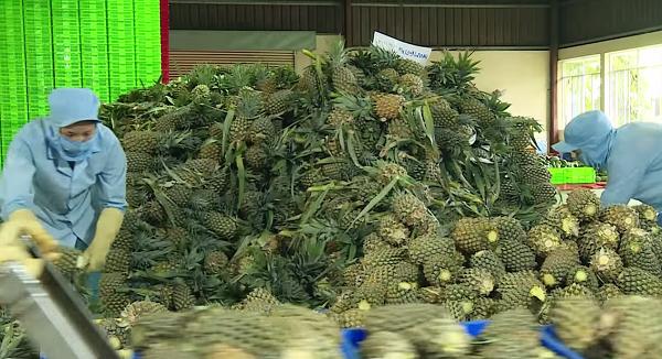 Ngoài việc thu mua của nông dân, West Food cũng tổ chức các vùng nguyên liệu riêng để đảm bảo nguồn cung cho các dây chuyền chế biến.