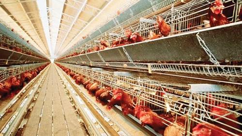 Khu nuôi gà lấy trứng công nghệ cao.