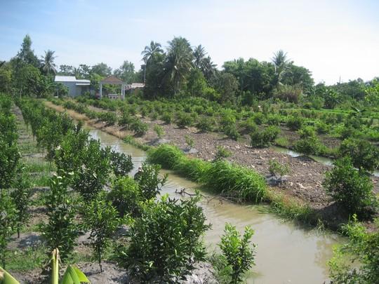 Nhà vườn miền Tây đang đua nhau tăng diện tích trồng chanh. Ảnh: Công Tuấn