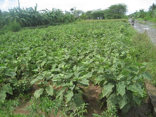 Một khu đất bị bao chiếm trồng cà tím đang chuẩn bị thu hoạch