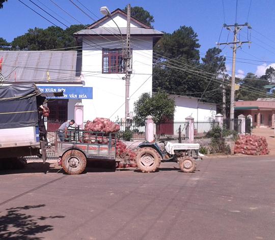 Nhiều xe tải lớn đến tận nơi để thu gom bắp cải để đi TP HCM tiêu thụ