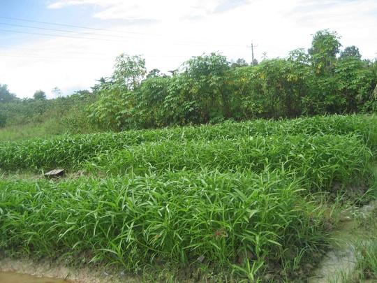 Rau muống cũng được trồng tại đây