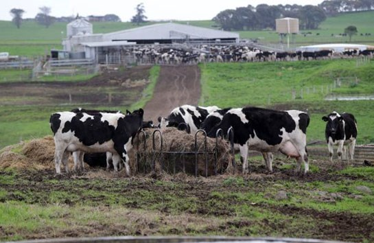 Nông trại bò sữa của CDI.