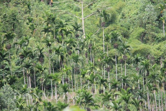 Cau trồng ở huyện Sơn Tây, địa phương được ví là thủ phủ cau ở Quảng Ngãi, với diện tích hiện trên 1.000 ha.
