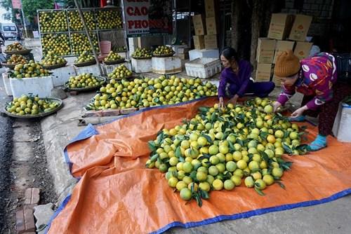 Người dân trồng cam ở Cao Phong cũng phất lên nhanh trong, thu tiền tỷ mỗi năm.