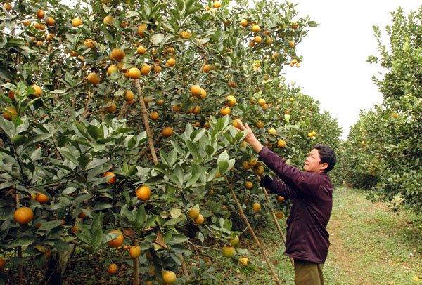 Cam Cao Phong đặc sản của Hòa Bình đã hết mùa từ tháng 4