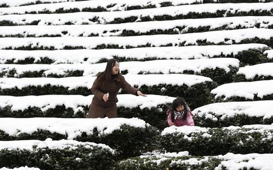 Tuyết phủ trắng một vườn chè ở TP Tân Đài Bắc của Đài Loan. Ảnh: AP