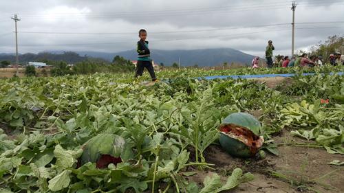 Dưa không đạt chất lượng khiến giá mua giảm nên mỗi gia đình trồng dưa ở Gia Lai lỗ từ 60 – 70 triệu đồng.