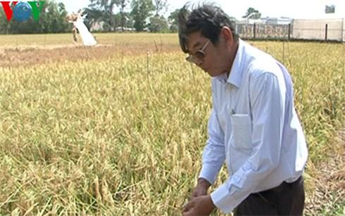 Anh hùng lao động- Kỹ sư Hồ Quang Cua bên giống lúa thơm chịu mặn mới vừa lai tạo