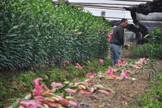 Nhiều nông dân phải cắt bỏ hoa tại ruộng để chuẩn bị đất làm vụ mới.