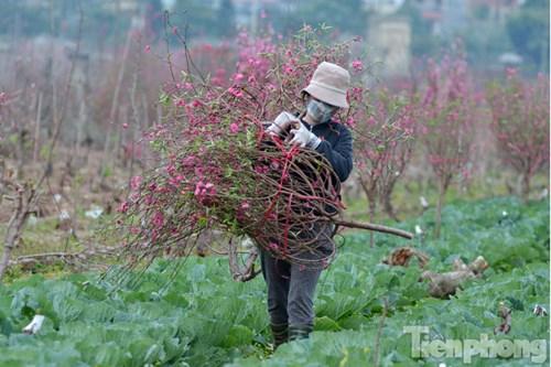Gia đình cô Lương có khoảng 100 gốc đào nở hoa sau Tết. Bỏ đi thì tiếc, nên tôi cắt bán ngày rằm nhằm gỡ lại chút tiền, cô Lương cho hay.