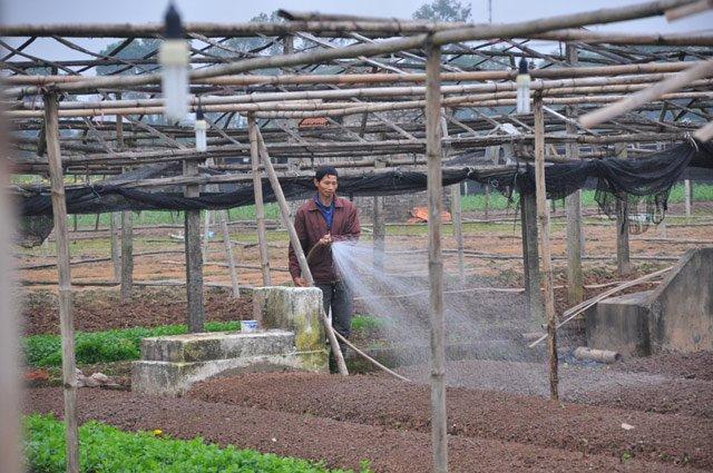 Nhiều hộ đã kịp cắt bán sớm làm đất trồng vụ mới.