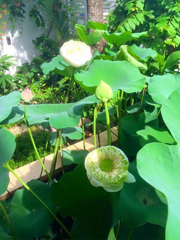 Những bông sen tỏa hương thơm dịu nhẹ giữa khu vườn xanh mướt.