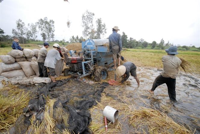 Ruộng ngập máy gặt không vào được nên thu hoạch bằng thủ công