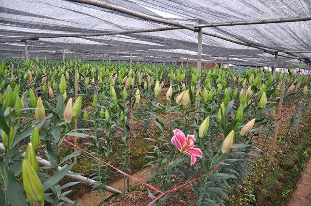 Do giá xuống quá thấp, nhiều nông dân chán nản bỏ ruộng để hoa nở.