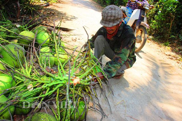 Giá dừa được thương lái thu mua trên cây (6.000 đồng-7.000 đồng/ trái), sau khi hái xong thì giá tăng lên 10.000 đồng/ trái.