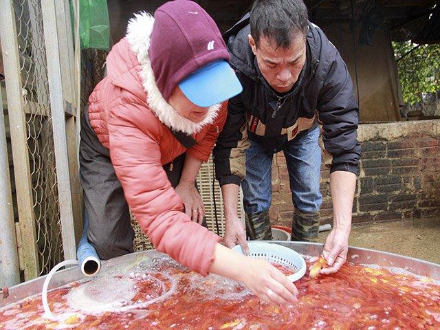 Hàng tấn cá chép vàng, đỏ từ các tỉnh đổ về Hà Nội dịp 23 tháng Chạp. Ảnh: Trần Thường