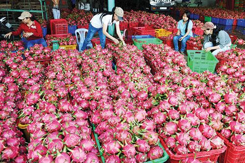 Tiếp sau quả vải, nhiều trái cây của Việt Nam cũng được các nước khó tính chấp nhận mở cửa và cho xuất vào thị trường của họ