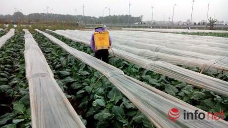 Su hào củ khá to sắp cho thu hoạch nhưng người trồng vẫn phun thuốc cho xanh lá. Ảnh chụp tại vùng rau toàn Vân Nội, Đông Anh.