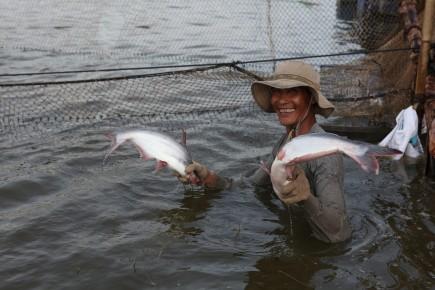 Bộ NNPTNT khuyến nghị: Các doanh nghiệp xuất khẩu cá tra phải kiểm soát được nguồn cá nuôi, kiểm soát an toàn thực phẩm và chất lượng sản phẩm. Ảnh: T.C.A