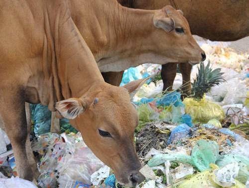 Bò tìm ăn ở bãi rác.