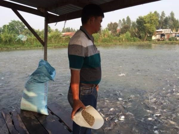 Ao nuôi cá của hộ dân theo chuỗi liên kết tại An Giang. (Ảnh: PV/Vietnam+)