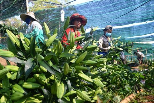 Hoa lily giá đã tăng mạnh, từ 100.000 – 200.000 đồng/bó 5 cành.