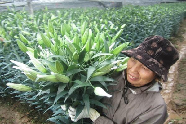 Để cứu vãn, nhiều hộ dân phải cát hoa ly, ủ lạnh để dành bán vào rằm tháng chạp.