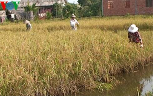 Thu hoạch lúa Một Bụi Đỏ tại huyện Hồng Dân, tỉnh Bạc Liêu