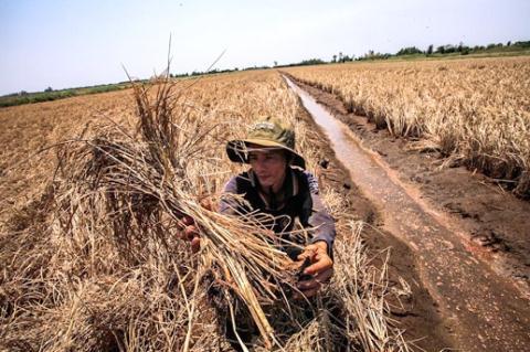 Lúa bị nhiễm mặn tại ấp Tây Sơn 3, xã Đông Yên, huyện An Biên (Kiên Giang). (Ảnh: Trọng Đạt)