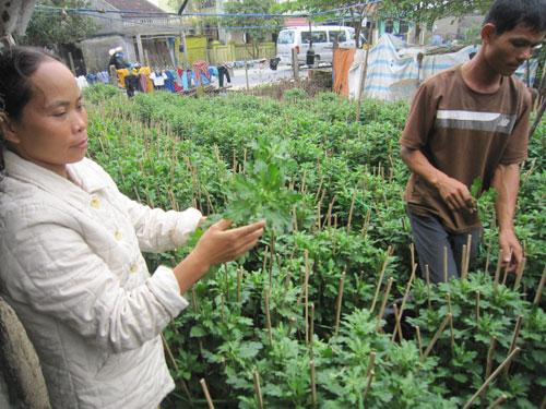 Cúc không ra hoa khiến người trồng lao đao Ảnh: Quang Tám
