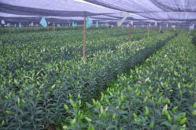 Theo ông Nguyễn Tuấn Anh – Chủ tịch UBND xã Thượng Mỗ, huyện Đan Phượng: Toàn xã có 14ha trồng hoa ly thì có đến trên dưới 50% số diện tích nở sớm trượt Tết.