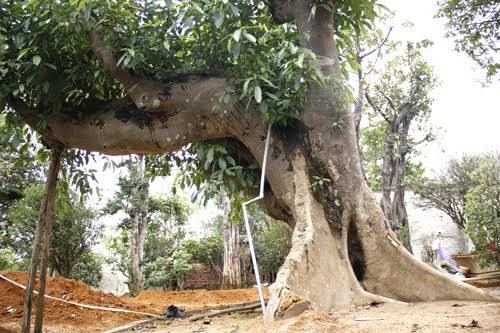 Nhiều phi vụ, dân buôn lãi được hàng tỷ đồng nhờ săn được cây cổ thụ quý hiếm, dáng độc lạ