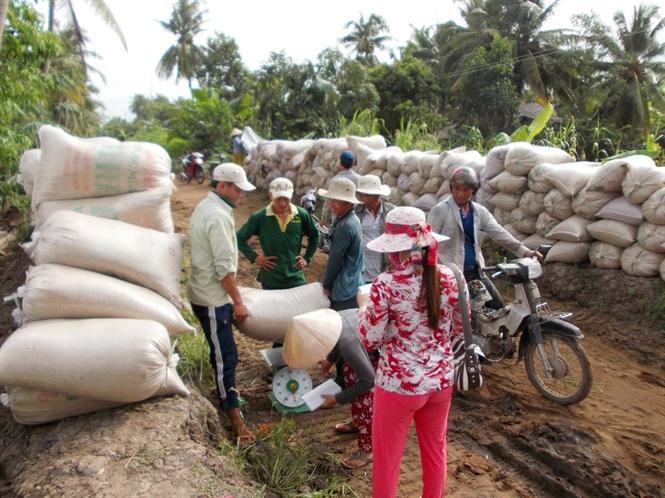 Giá lúa giảm còn 3.900 - 4.200 đồng/kg