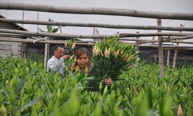 Do hoa ly nở không đúng thời điểm, hai vợ chồng anh Nguyễn Quang Hào ở làng Đăm, phường Tây Tựu (Bắc Từ Liêm) chịu cảnh thiệt hại nặng.