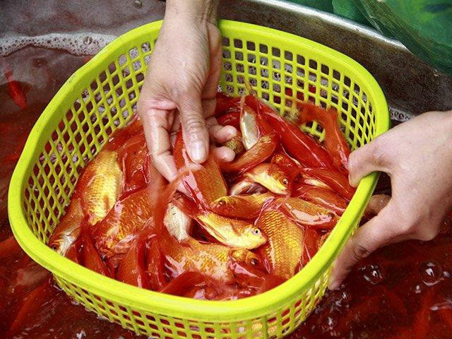 Giá cá chép năm nay không biến động nhiều dù trời lạnh gia. Ảnh: Trần Thường