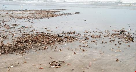 Ốc biển cũng chung số phận