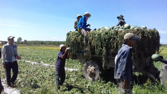 Dù gía rẻ nhưng nông dân vẫn phải thu hoạch vì sợ dưa hấu sẽ bị hư hỏng.