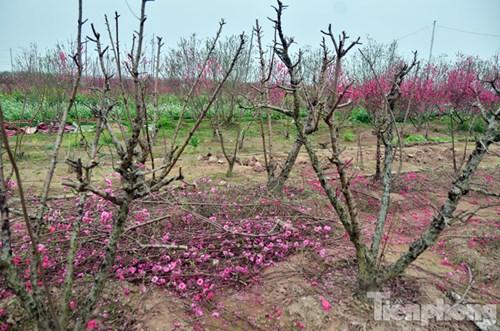 Nhiều chủ vườn phải cắt bỏ cành hoa để chăm sóc cây chuẩn bị cho vụ sau.